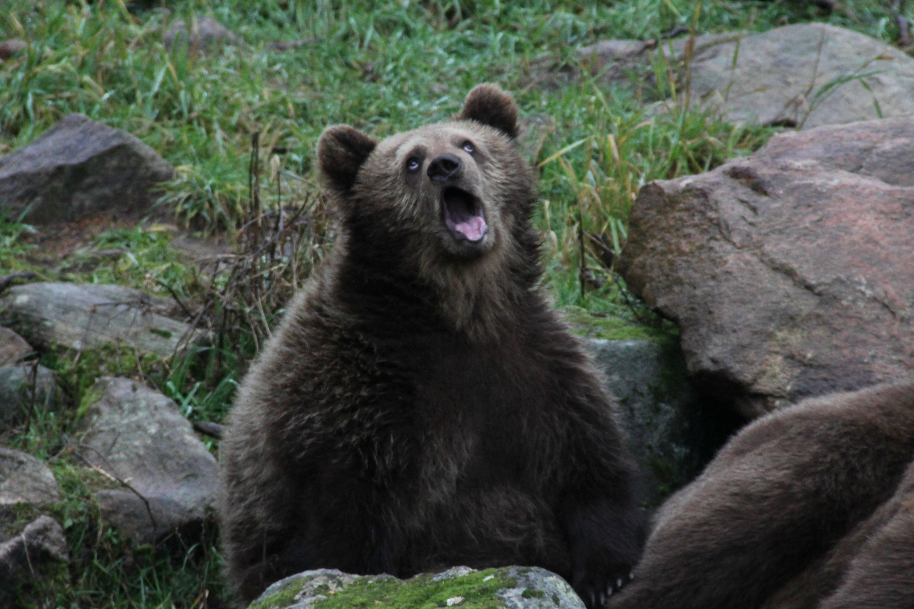 Bear 4k