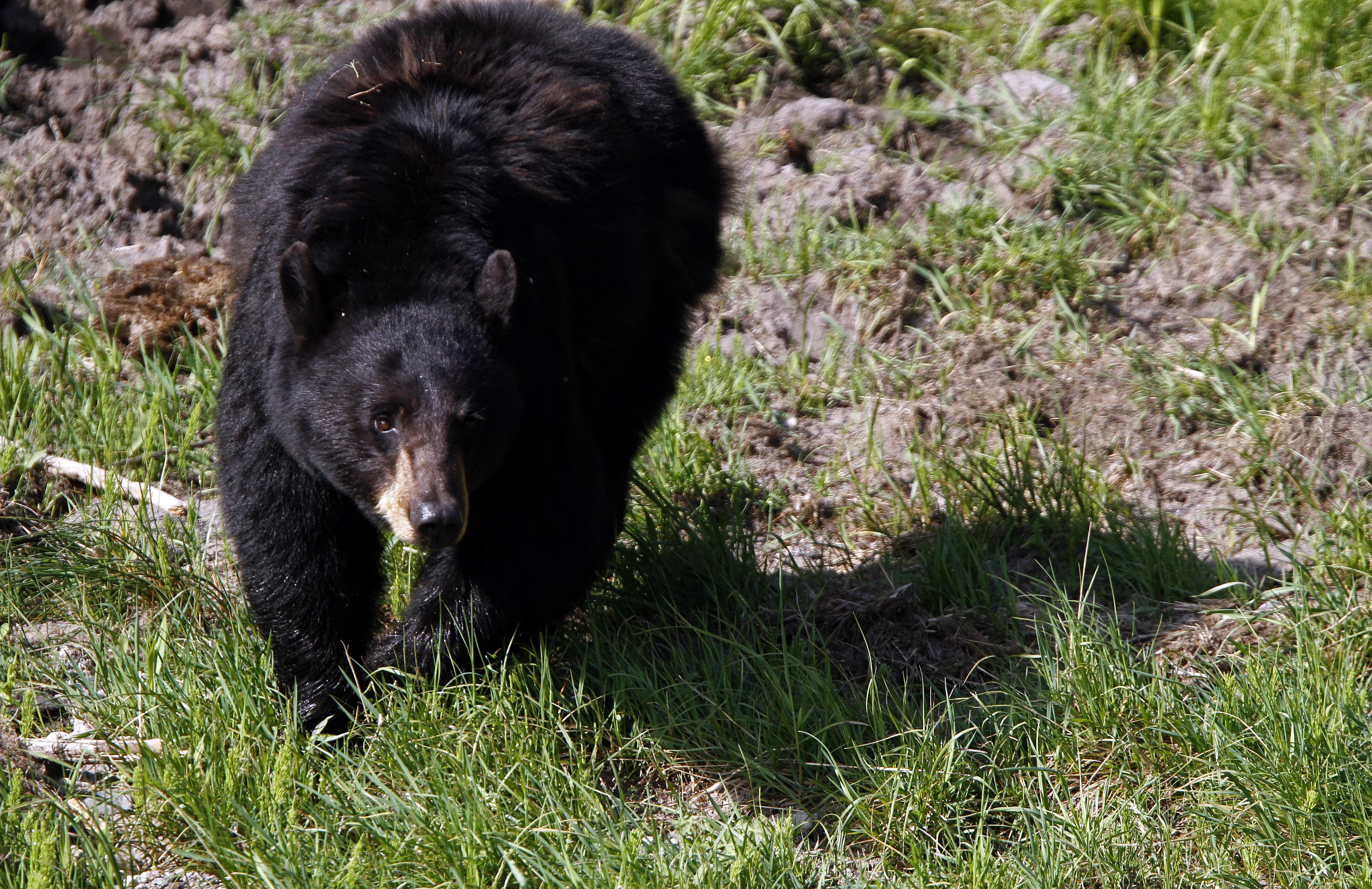 Bear Computer Backgrounds