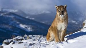 Cougar Desktop
