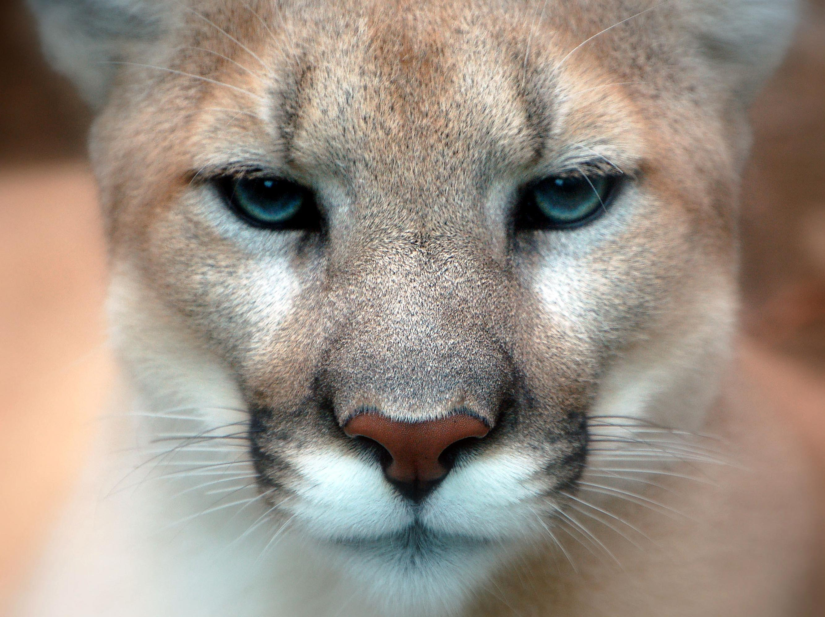 Cougar Hd Desktop