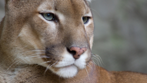 Cougar High Definition