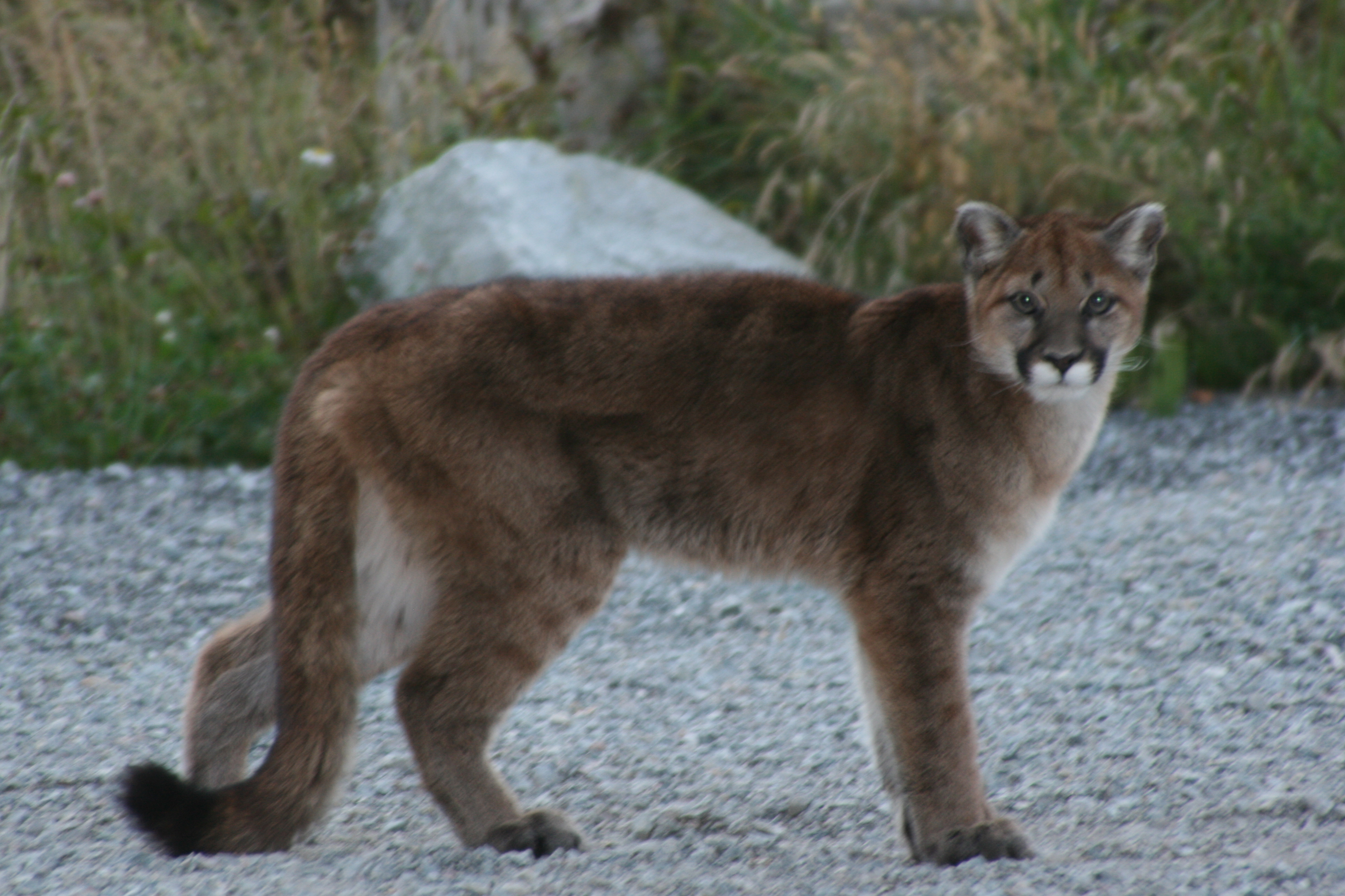 Cougar High Definition Wallpapers