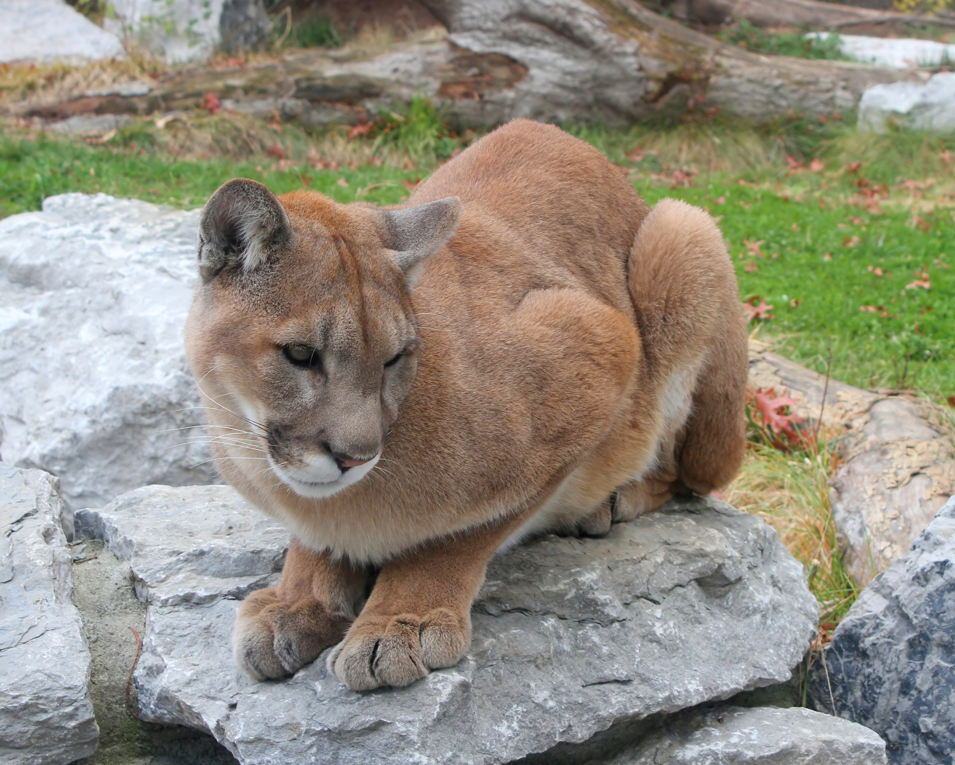 Cougar High Quality Wallpapers