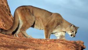 Cougar Images