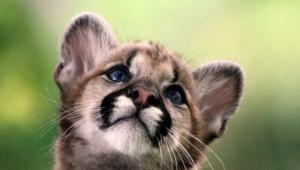 Cougar Widescreen