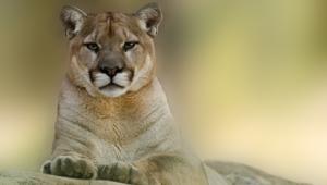 Cougar Full Hd