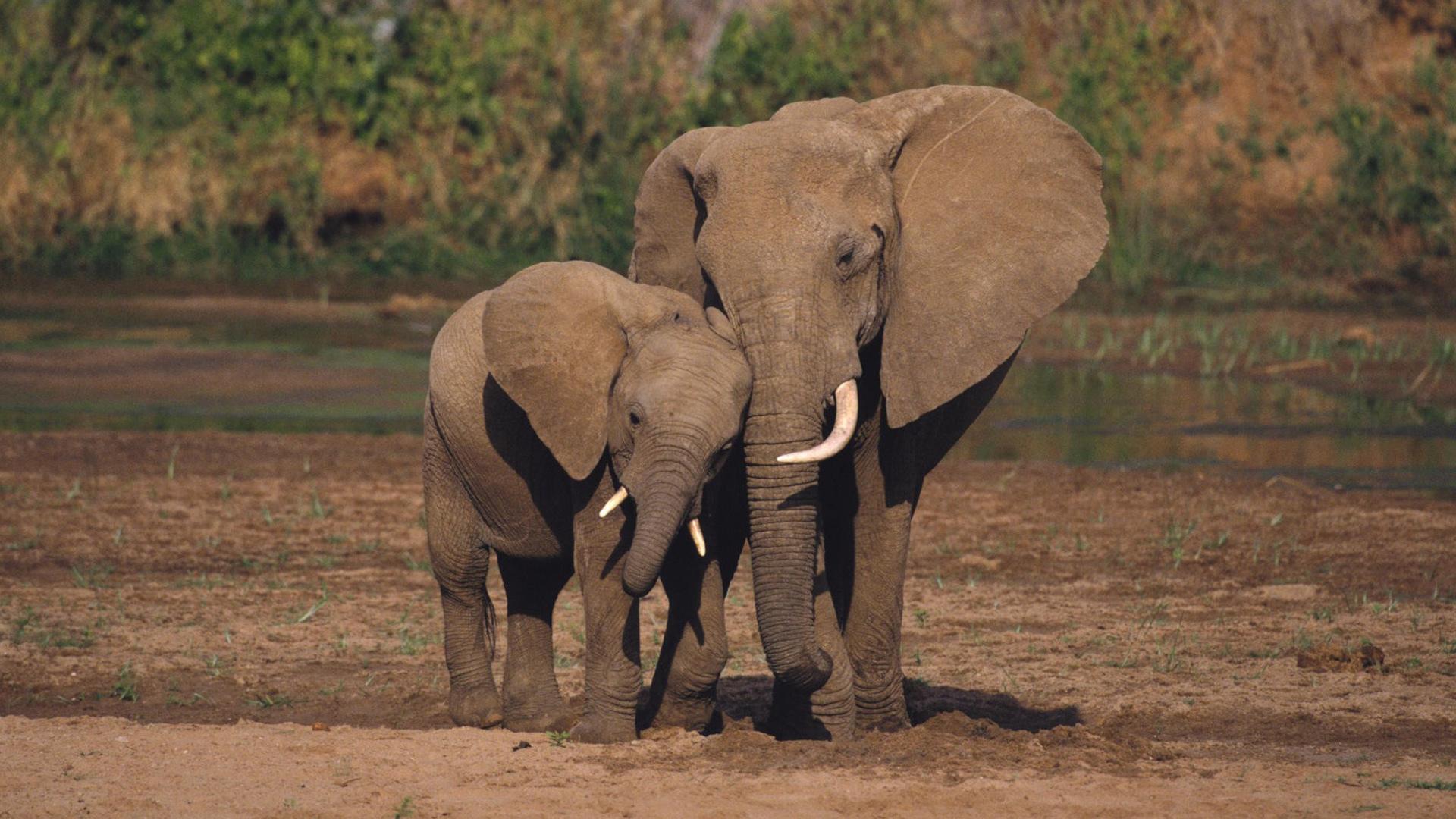 Elephant Hd Desktop