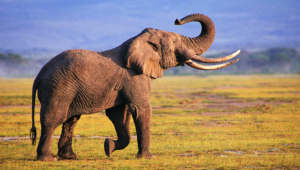 Elephant High Definition