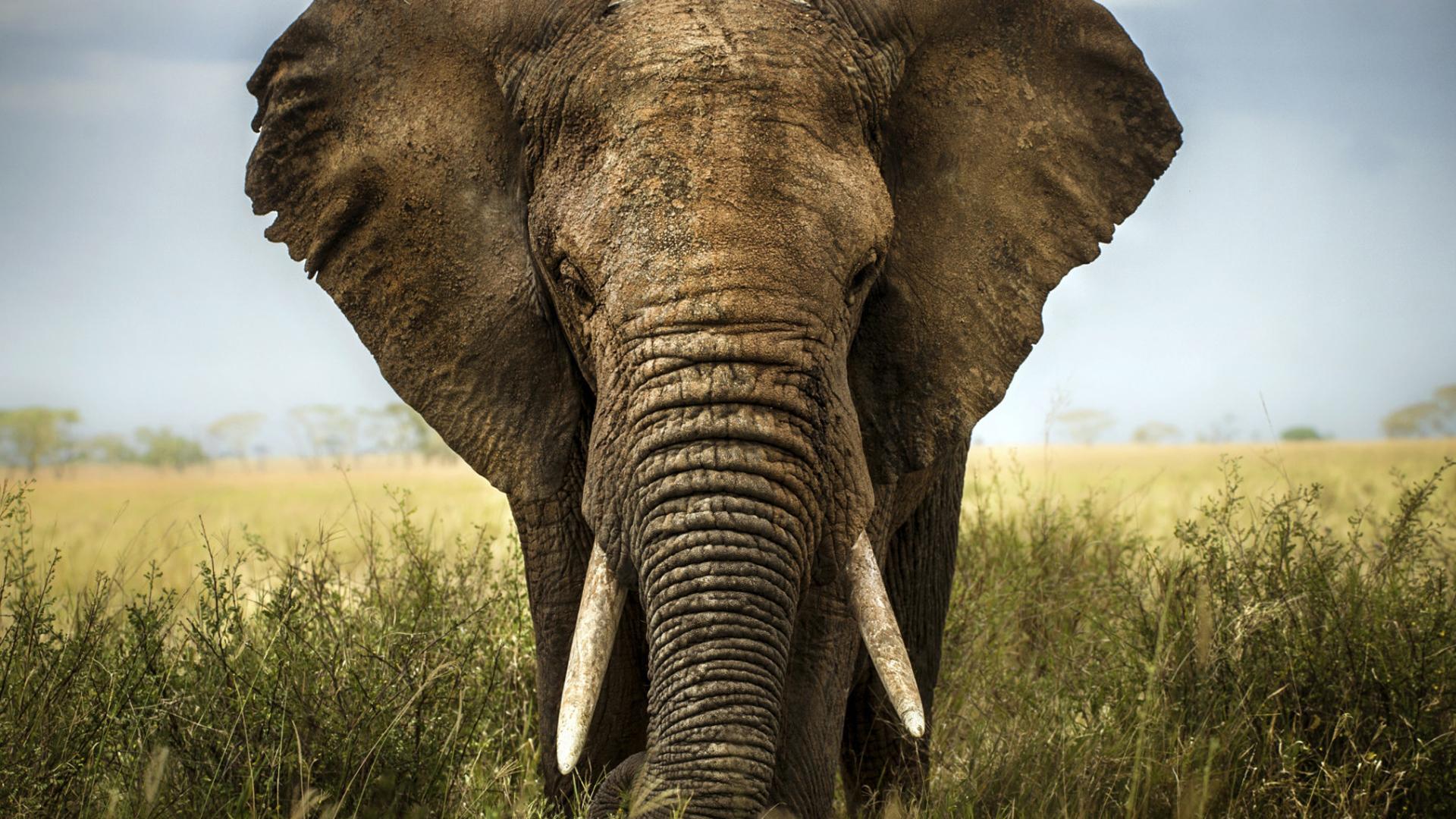 Elephant Wallpaper For Computer