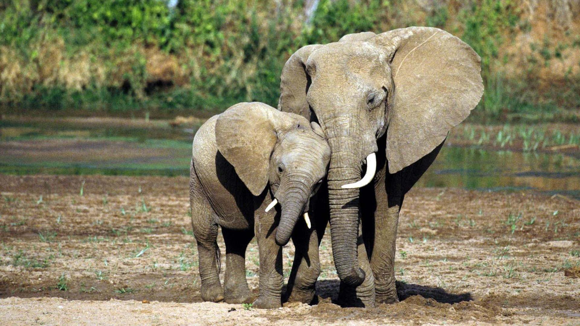 Elephant Wallpapers