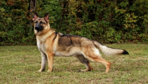 German Shepherd Images