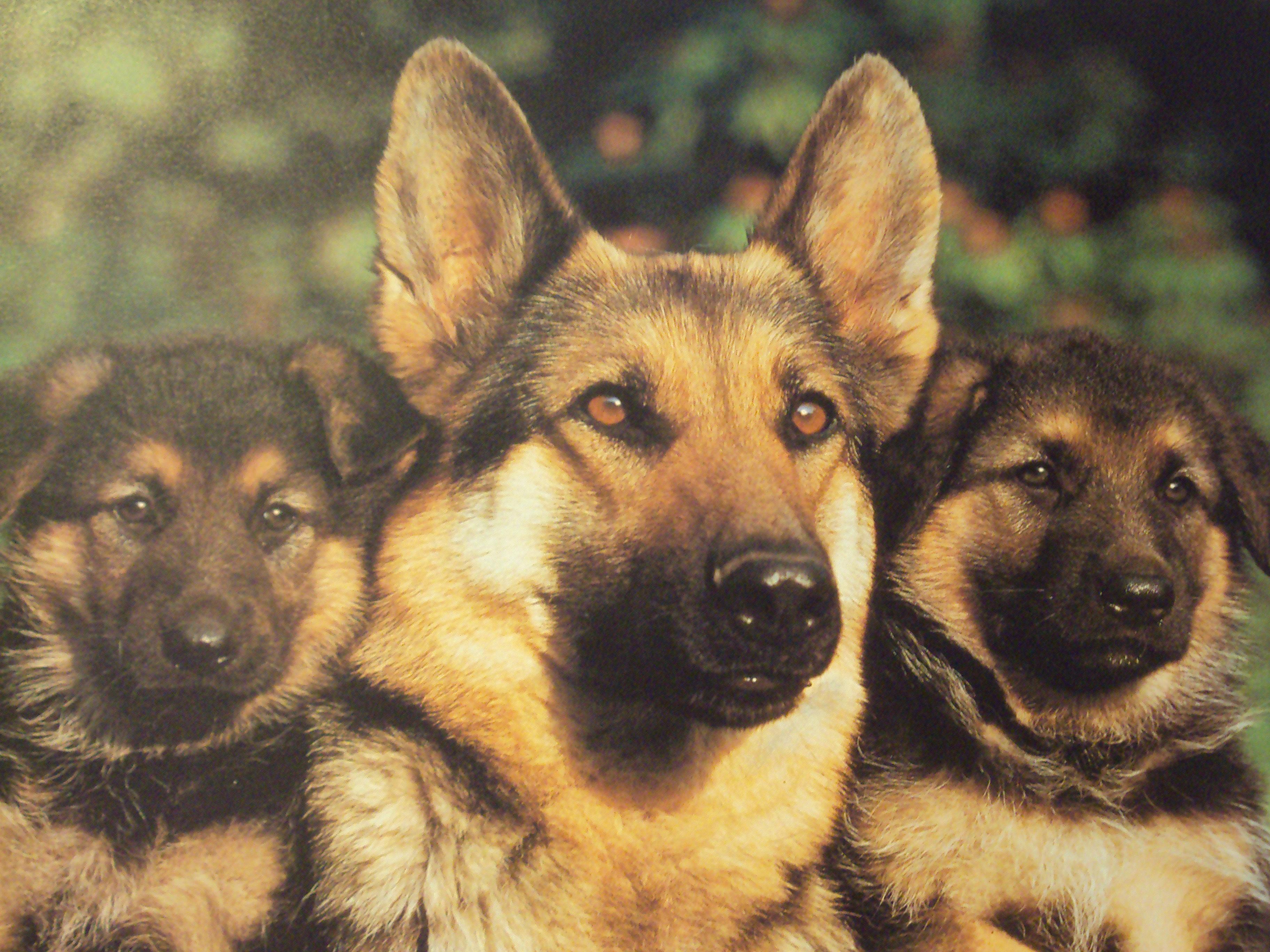 German Shepherd Wallpapers Hd