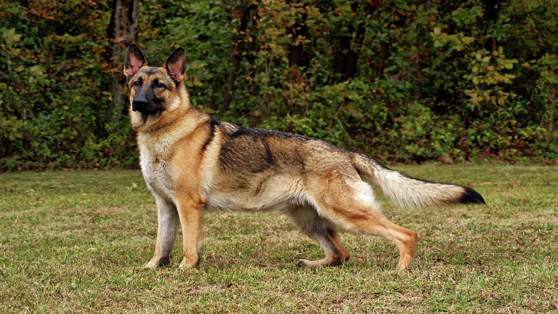 German Shepherd Widescreen