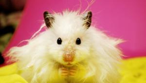 Hamster 4k