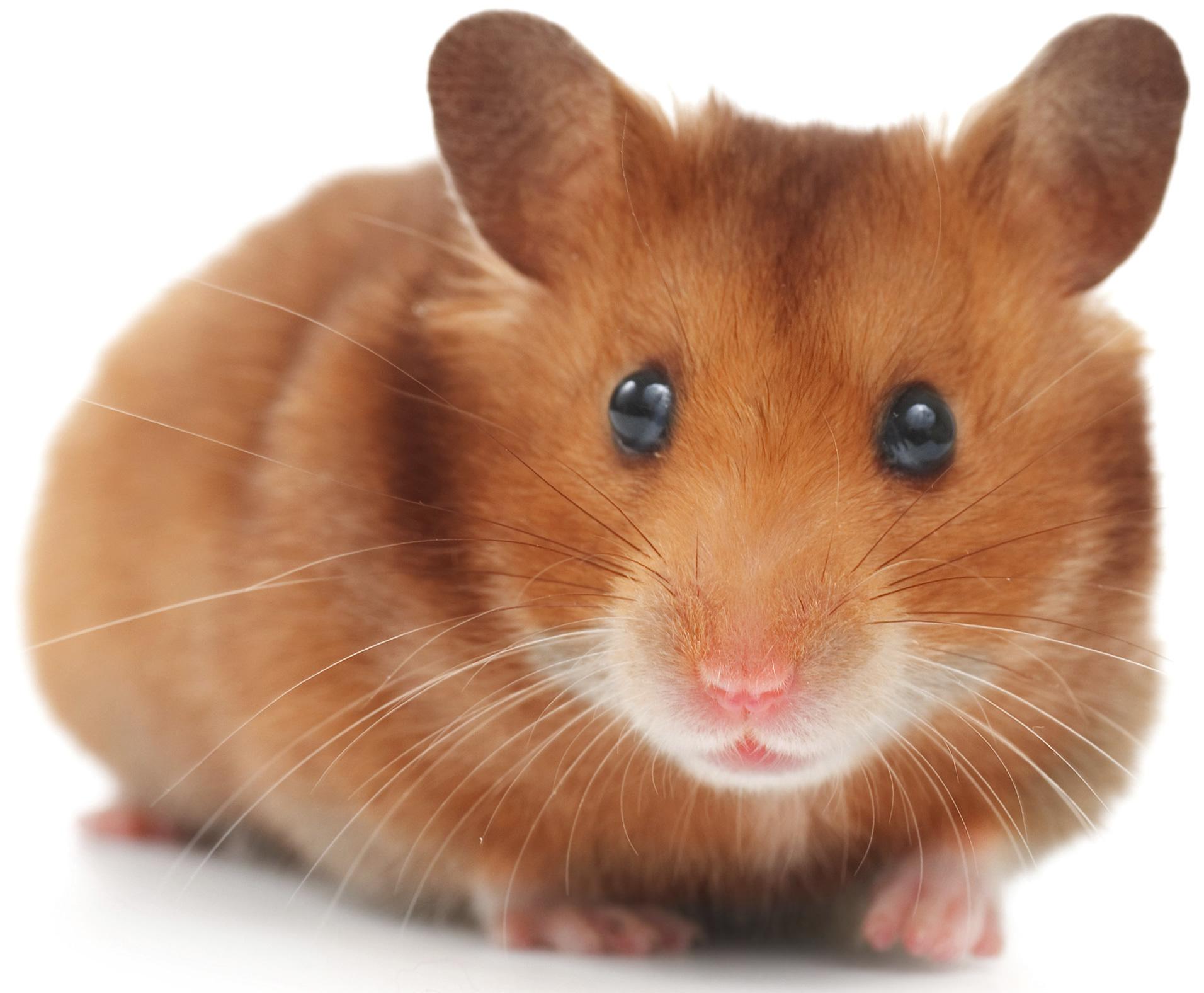 Hamster Computer Wallpaper