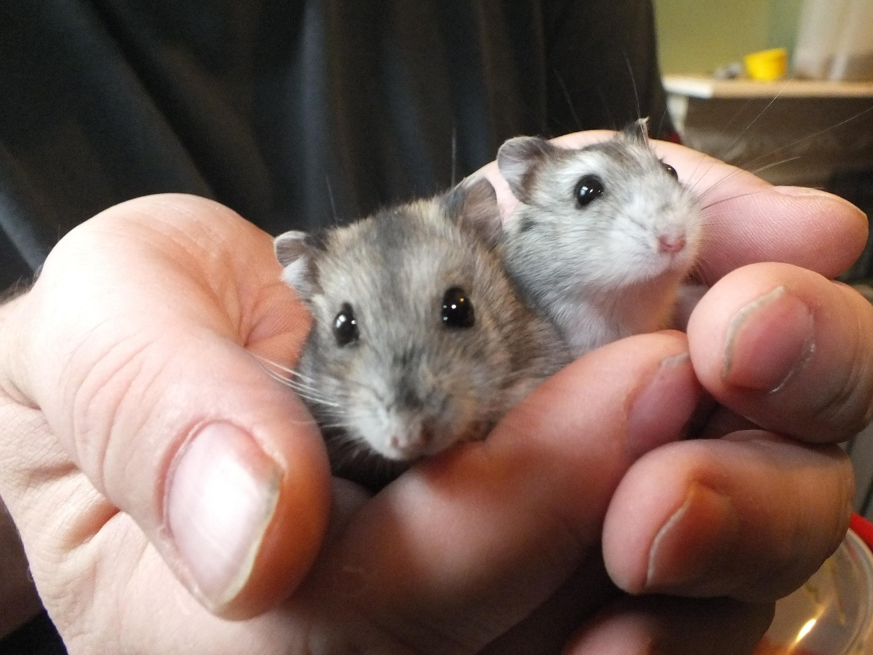 Hamster Hd Background