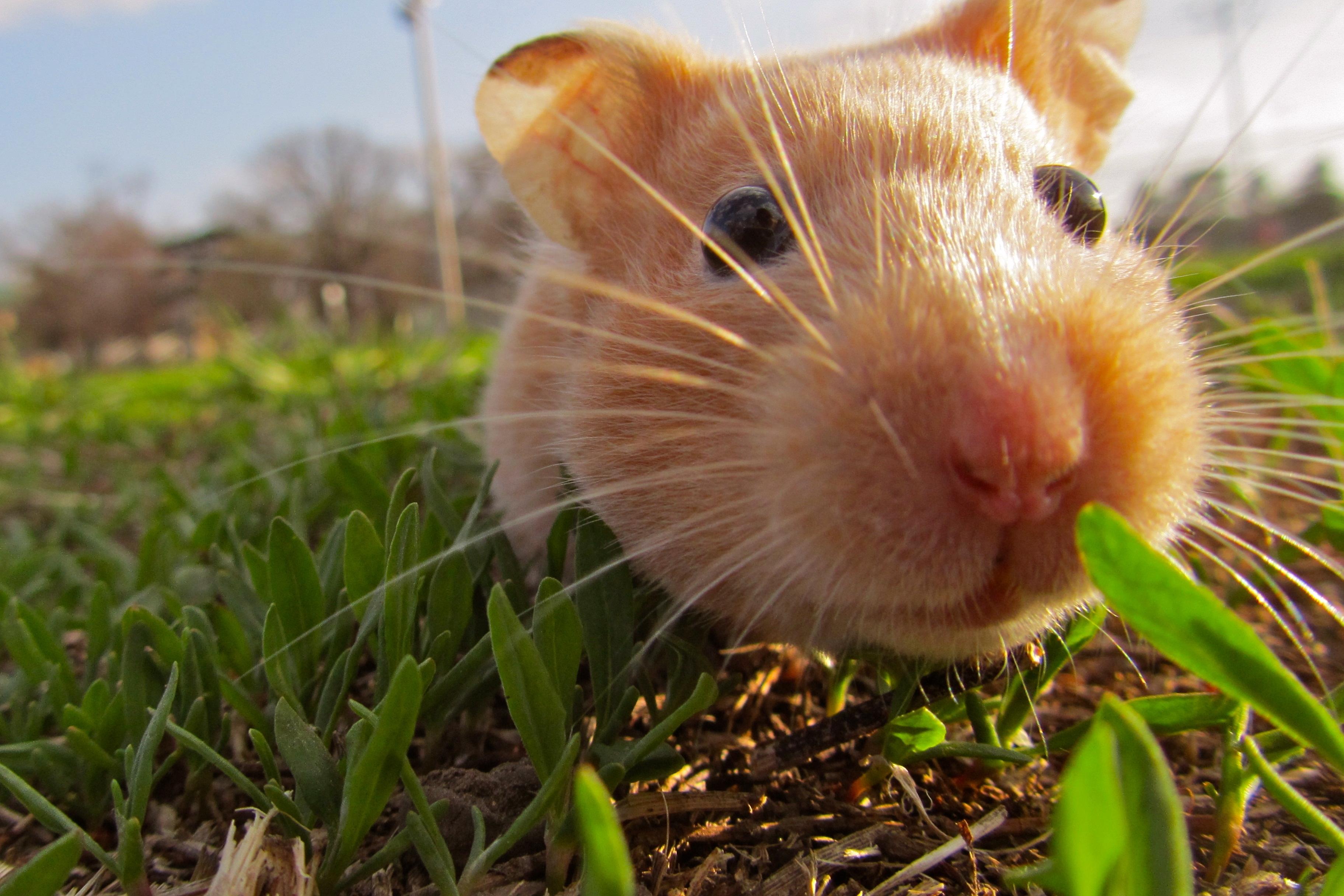 Hamster Hd Desktop