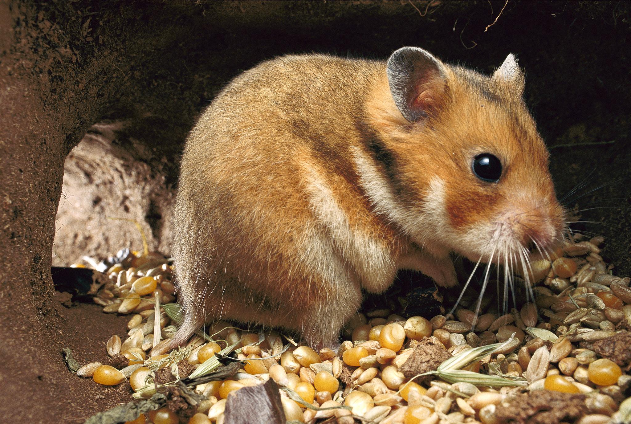 Hamster Hd Wallpaper