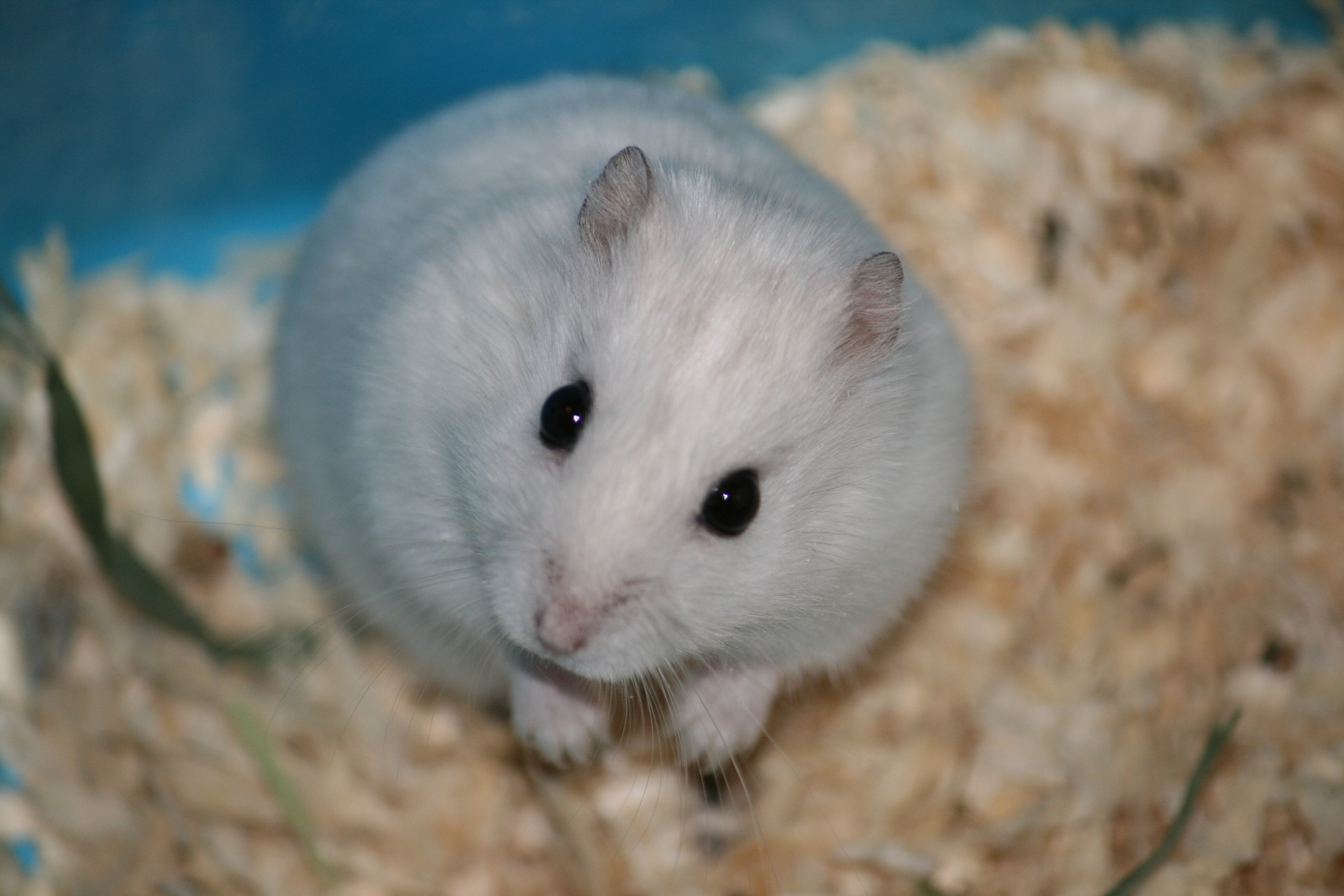 Hamster High Definition