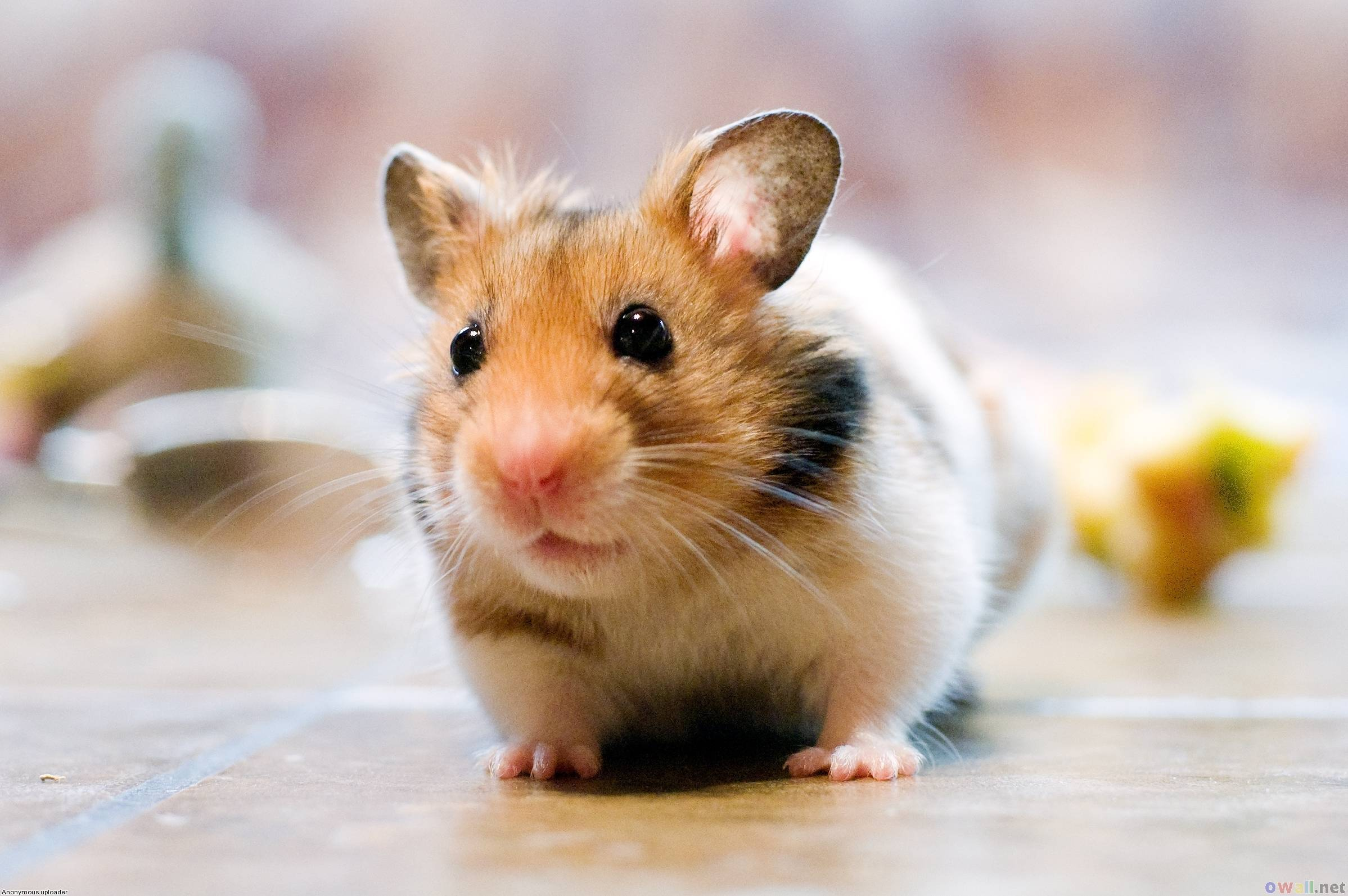 Hamster High Quality Wallpapers