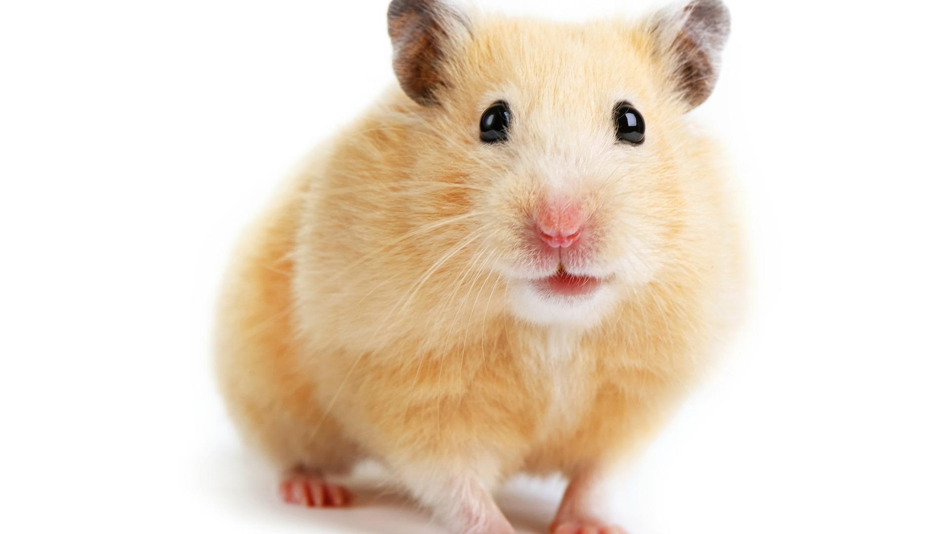 Hamster Images