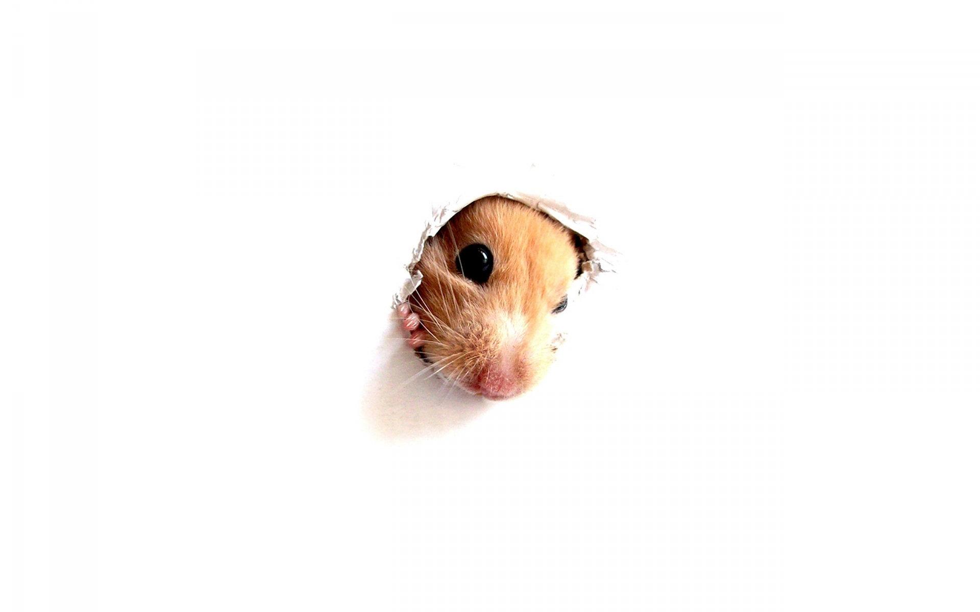 Hamster Wallpapers Hd
