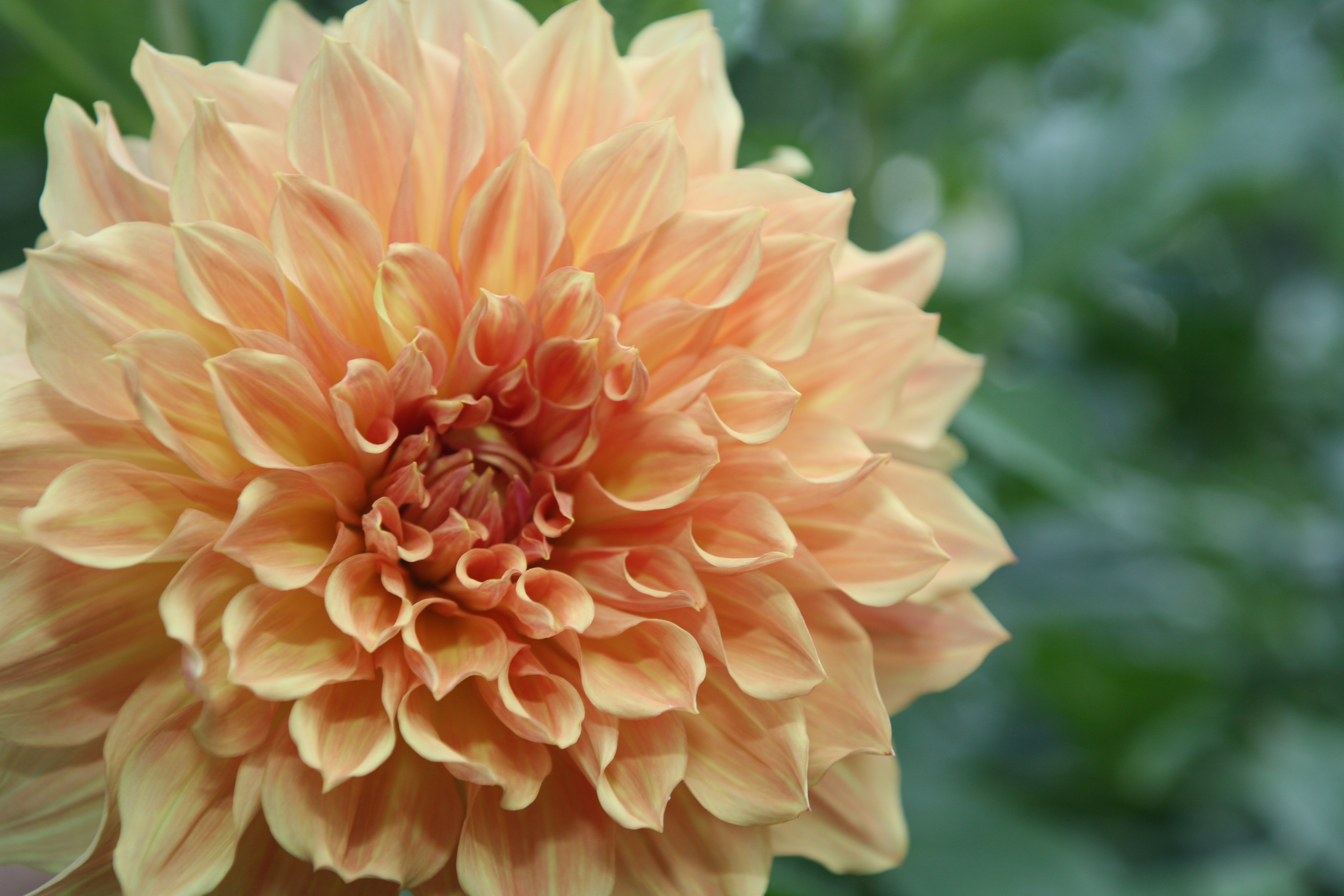 Pictures Of Dahlia