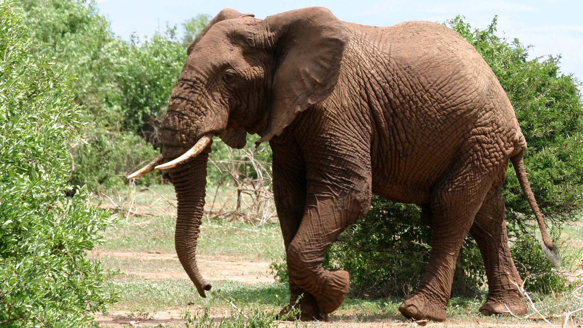 Pictures Of Elephant