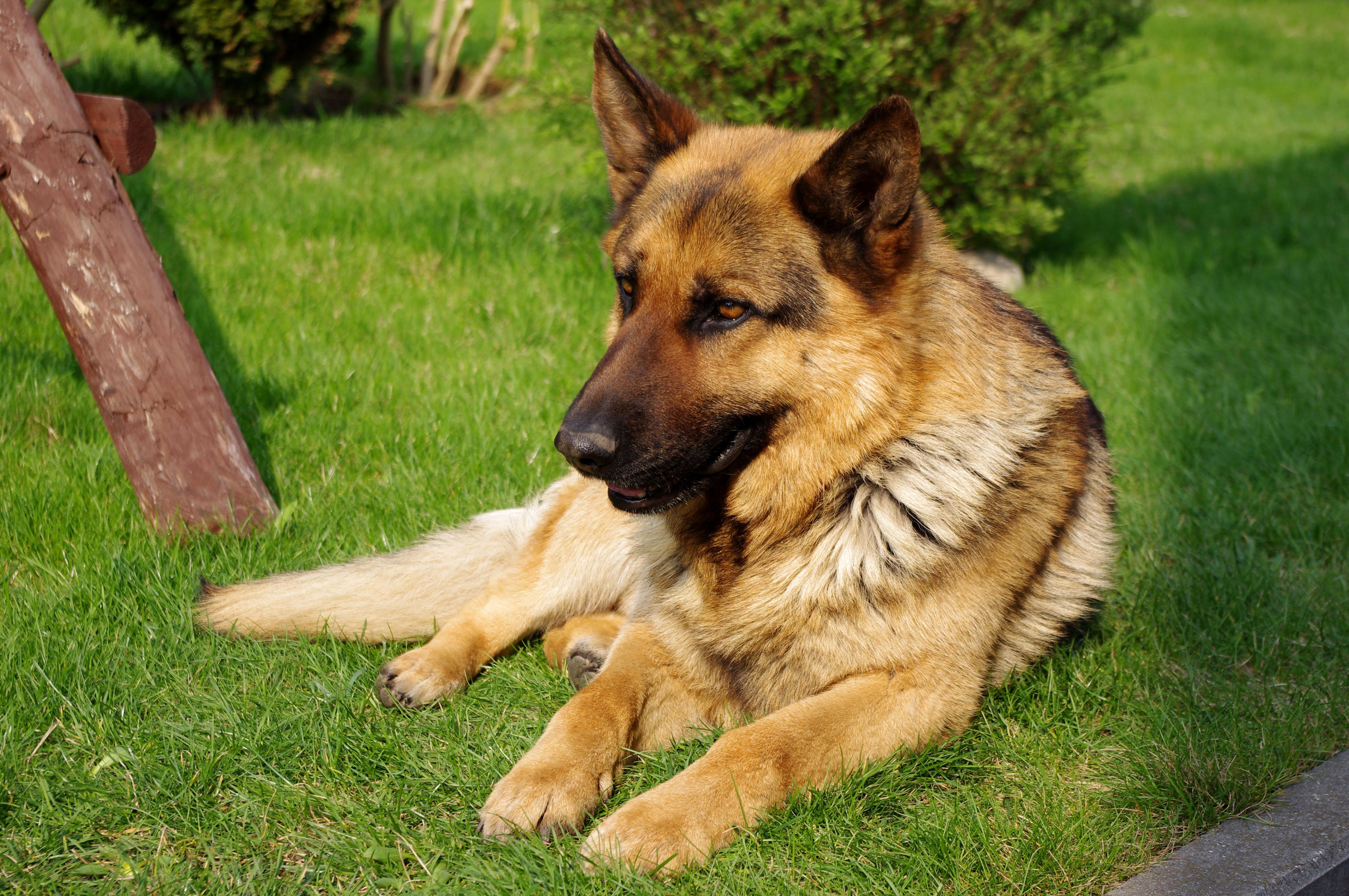 Pictures Of German Shepherd