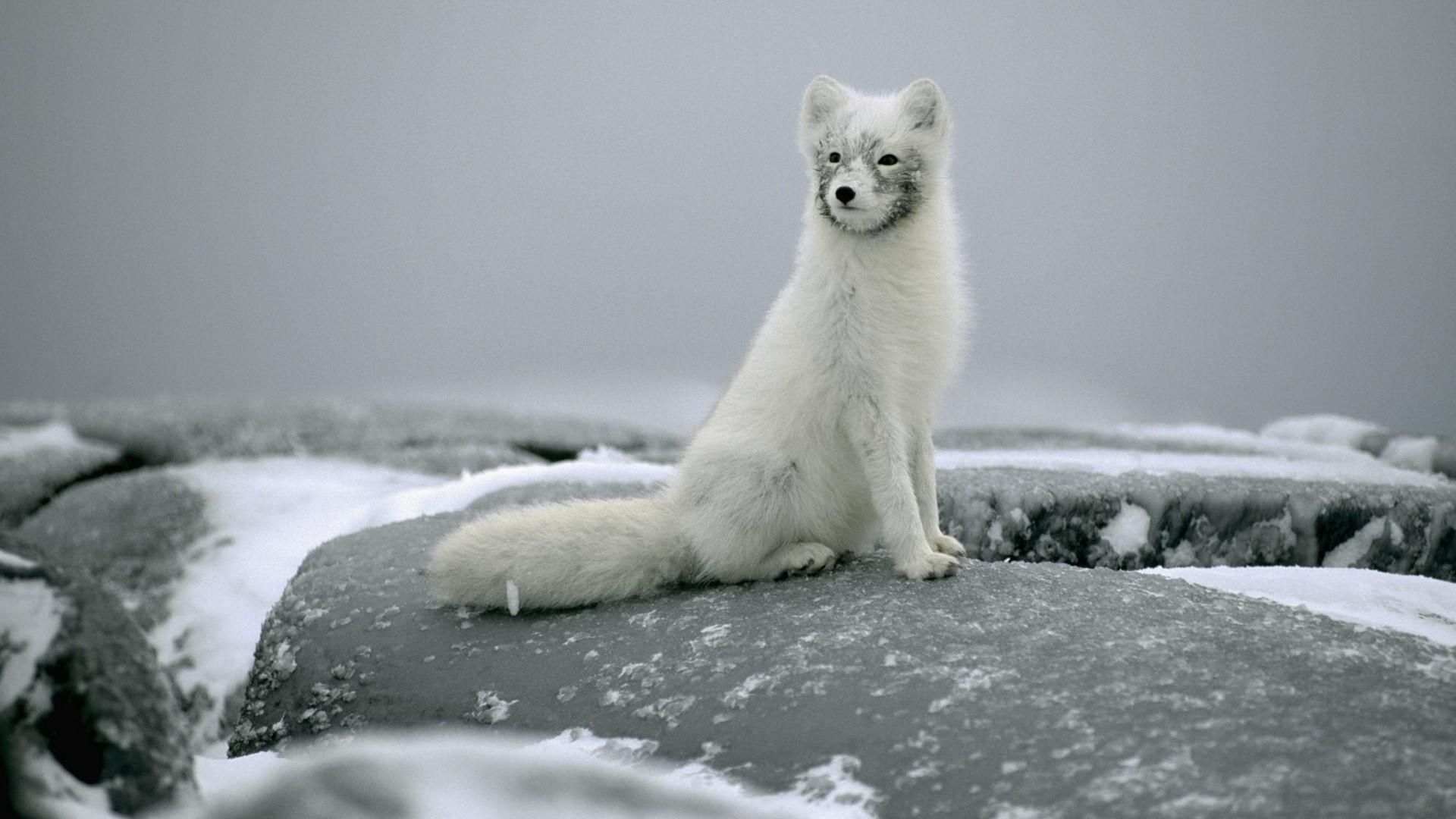 Arctic Fox Computer Wallpaper
