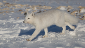 Arctic Fox Desktop