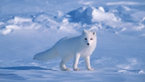 Arctic Fox Hd Wallpaper