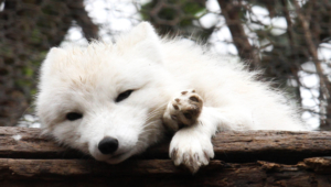 Arctic Fox High Definition