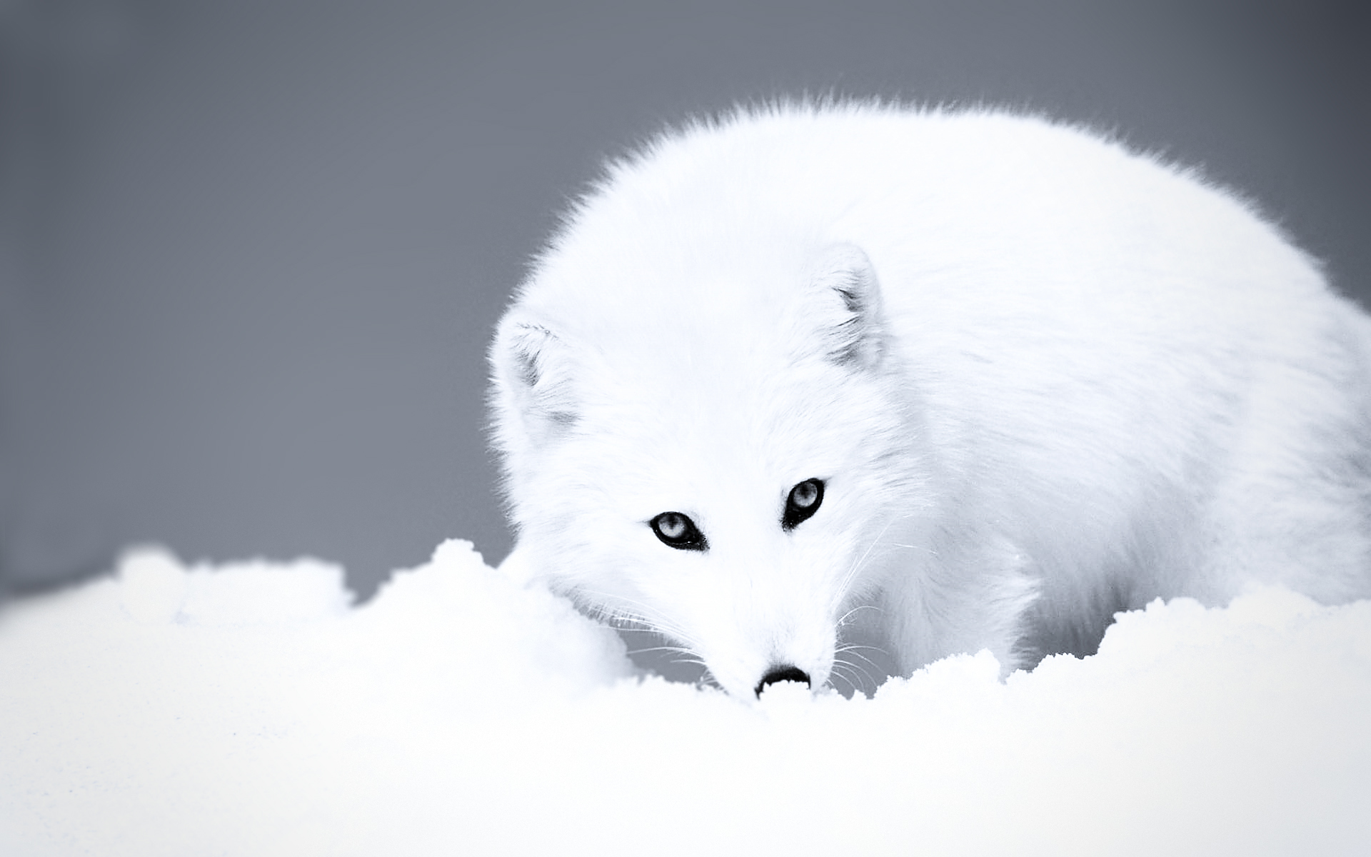 Arctic Fox High Definition Wallpapers