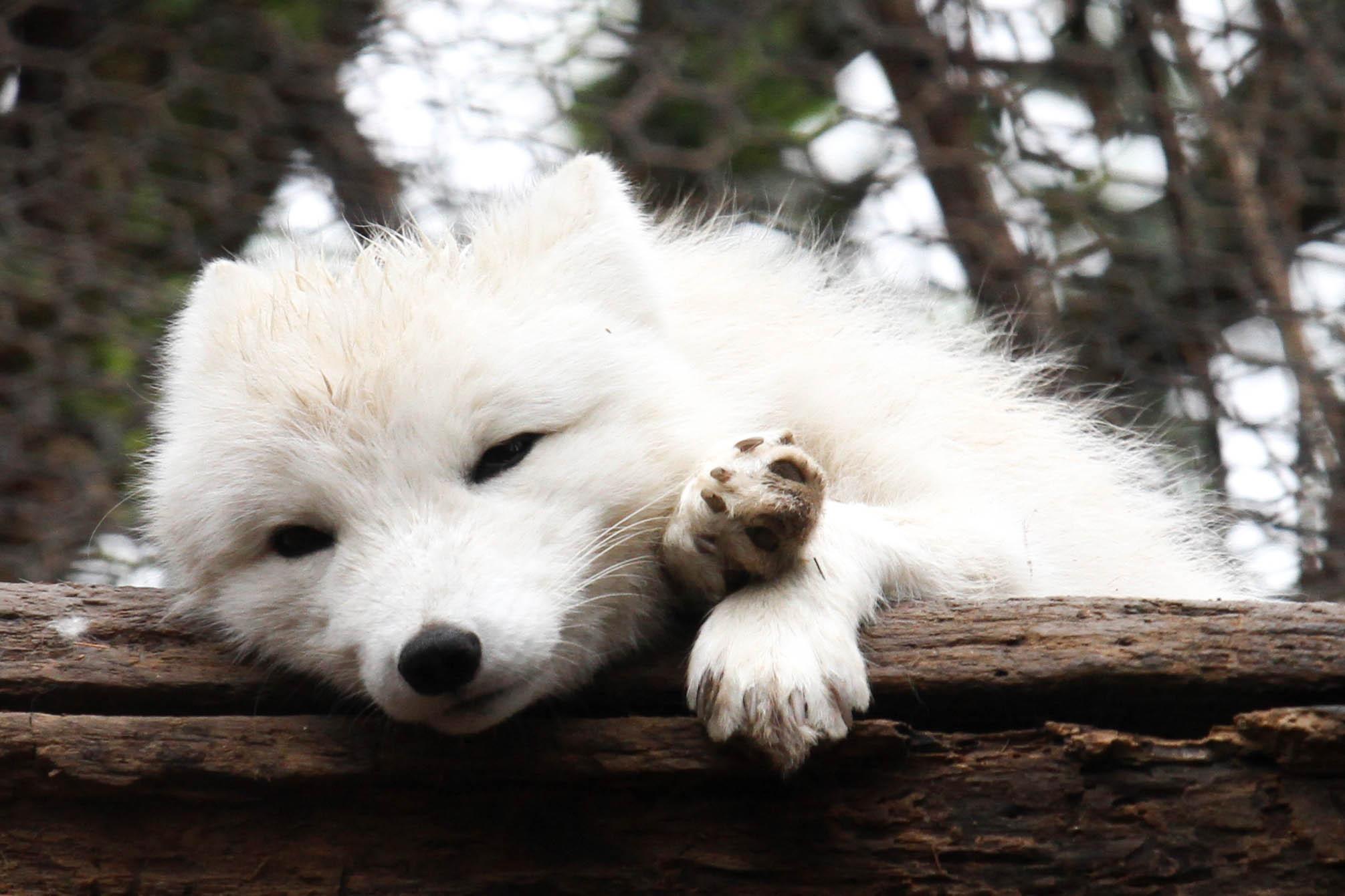 Arctic Fox High Definition