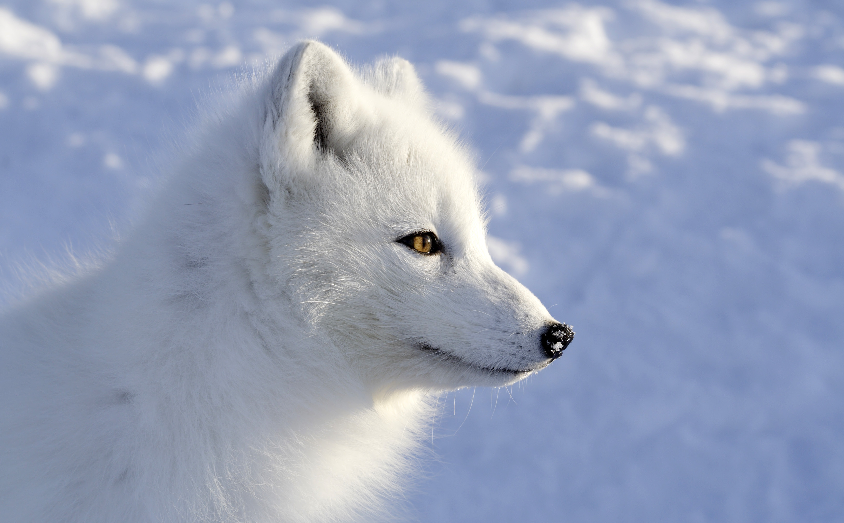 Arctic Fox Images