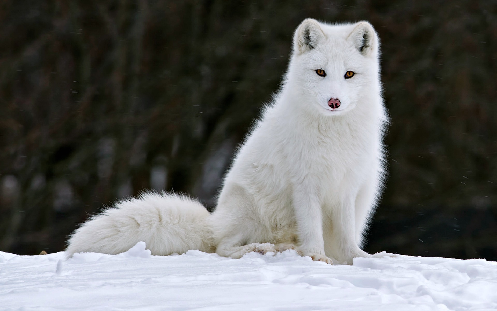 Arctic Fox Photos