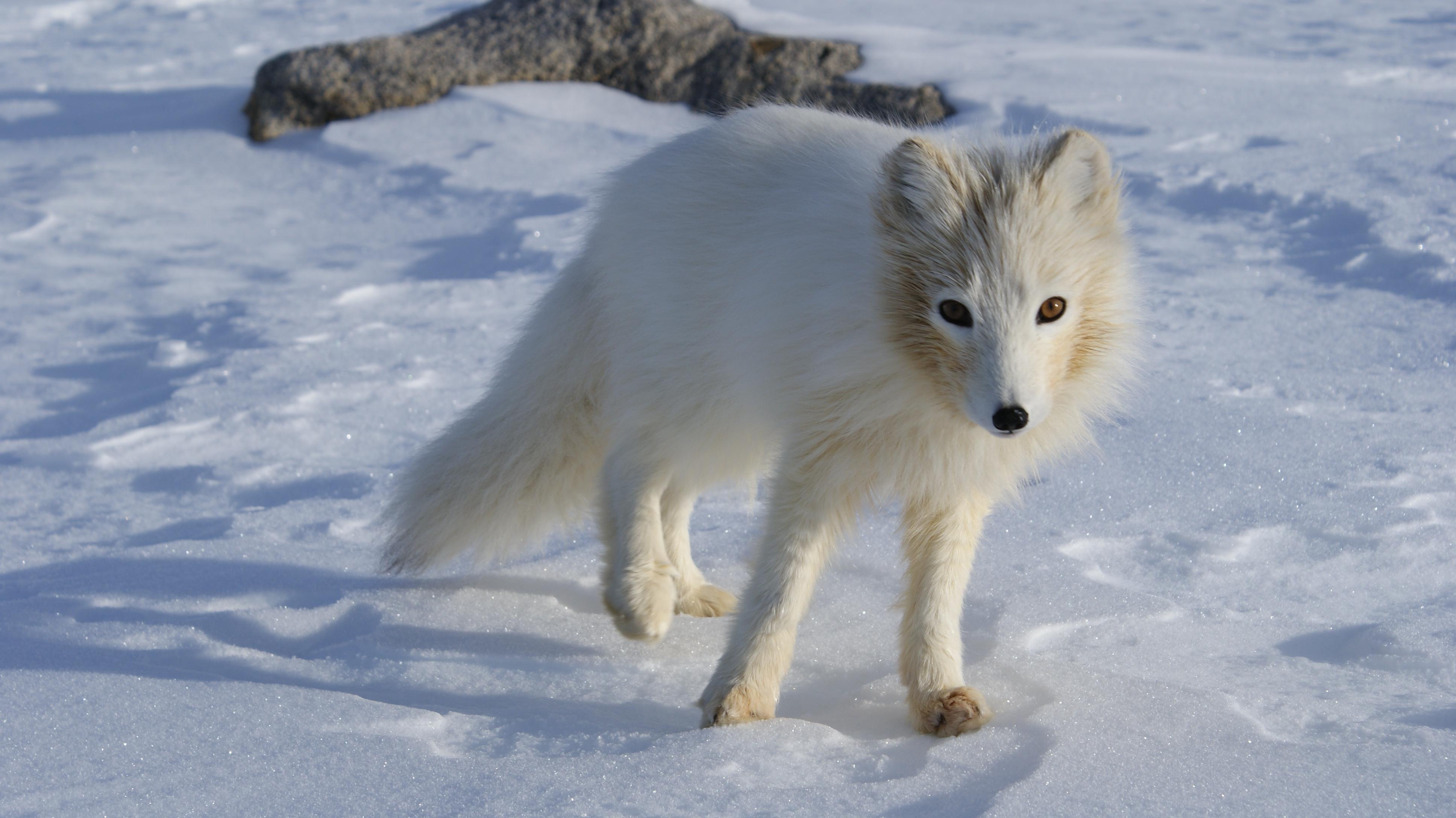 Arctic Fox Wallpapers Hq