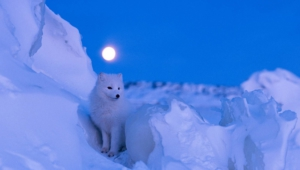 Arctic Fox Wallpapers And Backgrounds