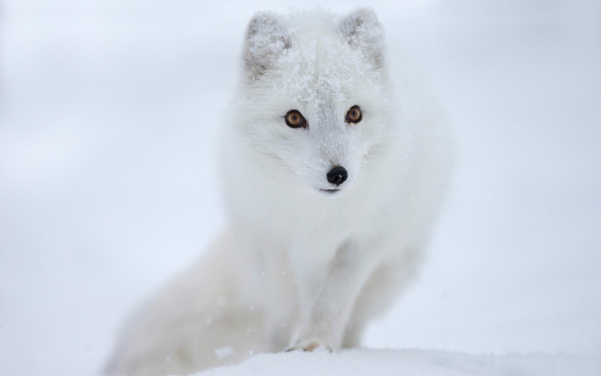 Arctic Fox Wallpapers