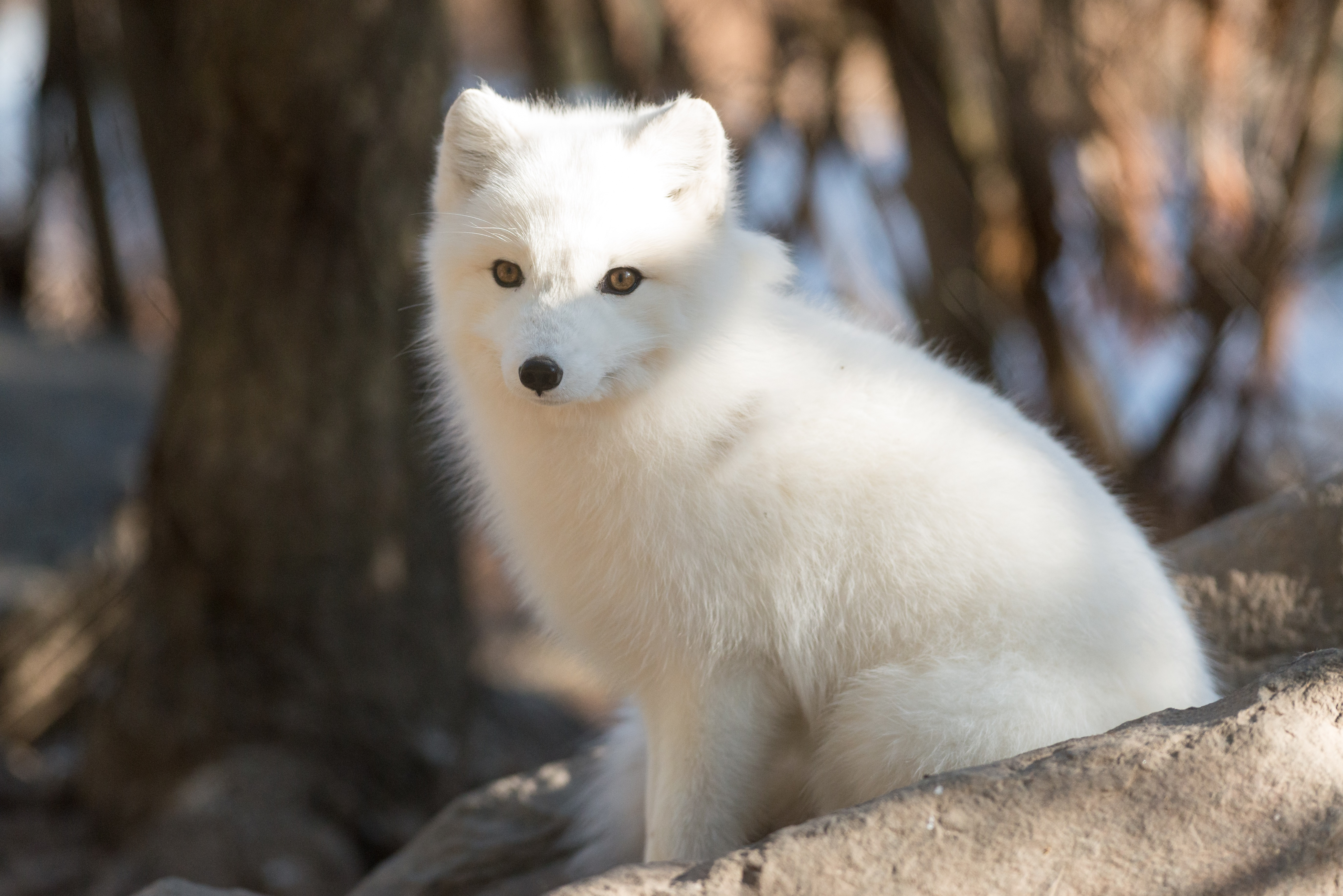 Arctic Fox For Desktop