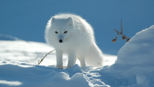 Arctic Fox Full Hd
