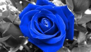Blue Rose Background