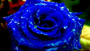 Blue Rose Hd Desktop
