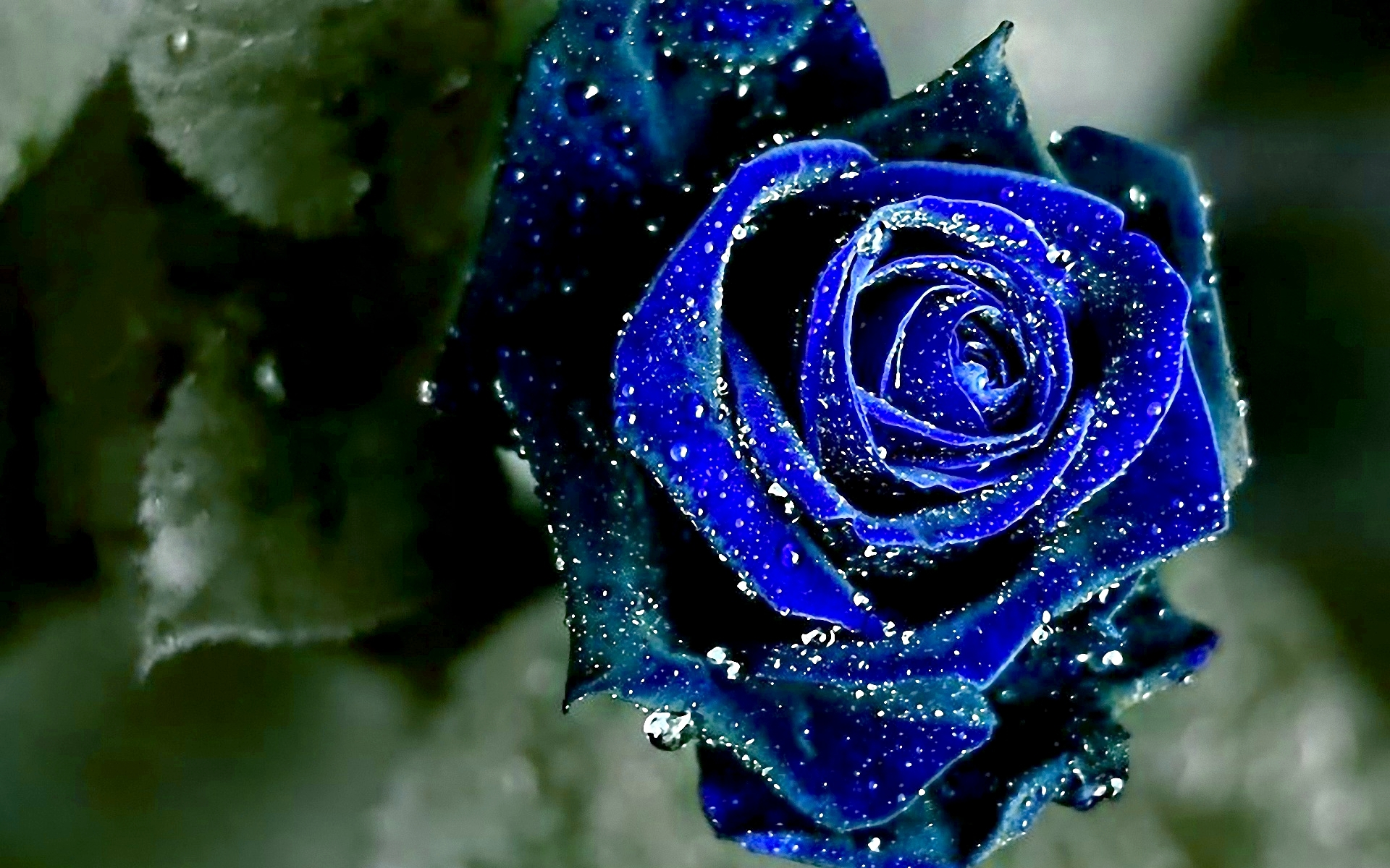 Blue Rose High Definition Wallpapers