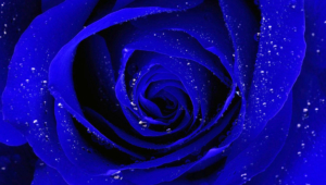 Blue Rose Images