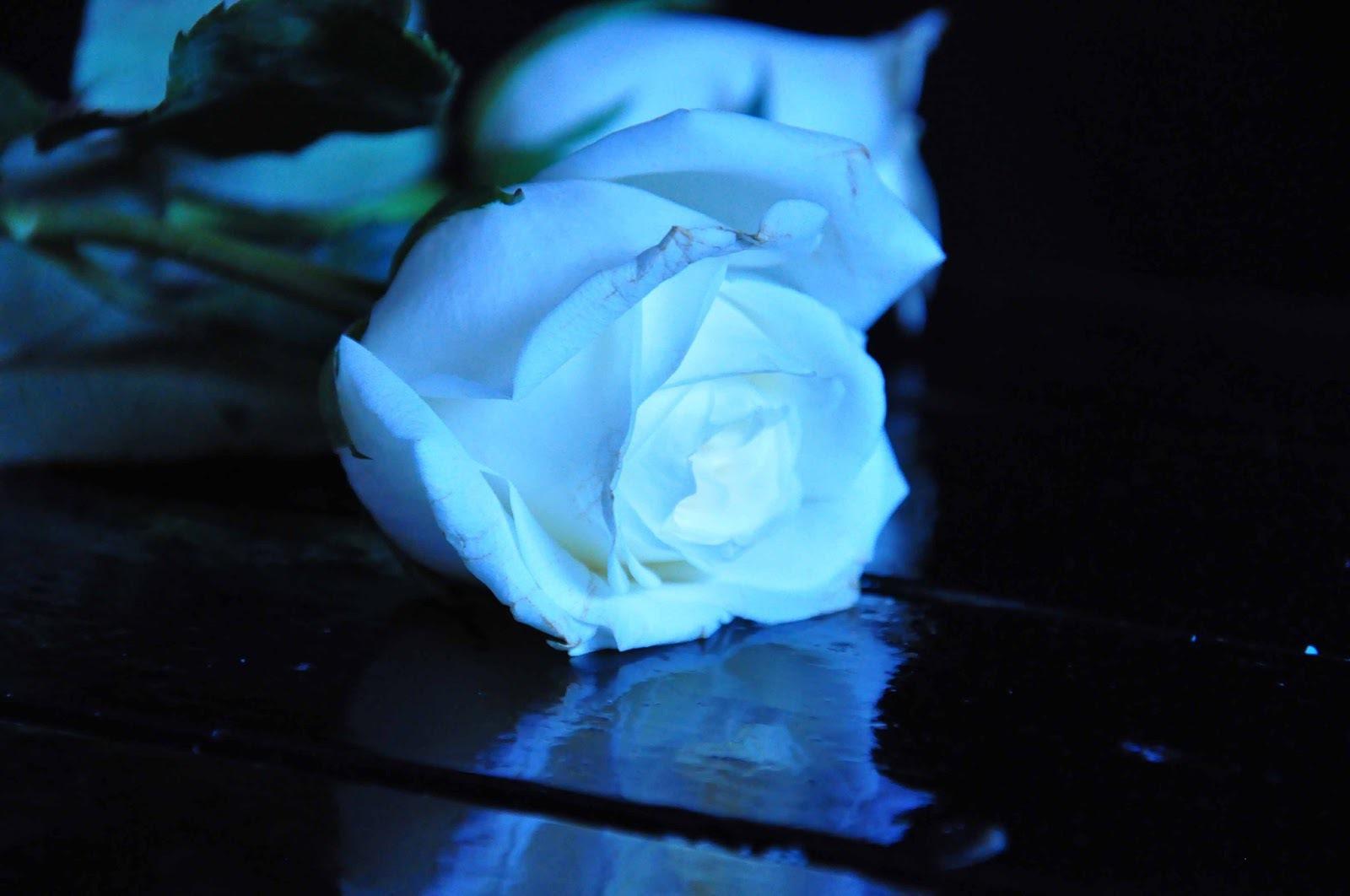 Blue Rose Photos