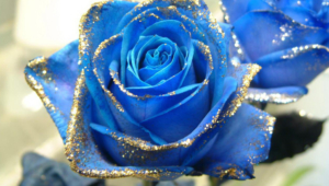 Blue Rose Pictures