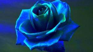 Blue Rose Wallpaper