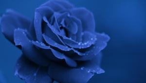 Blue Rose Widescreen
